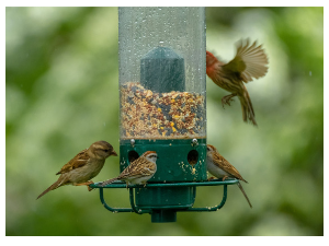 Attracting birds to your gardens in England
