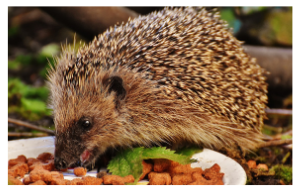 Attract hedgehogs to your gardens in England